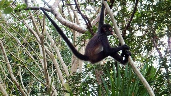 spider-monkey-playing